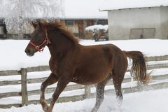 Red heavy horse runs gallop in winter stock photo