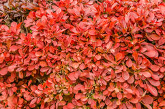 Red Hedge Royalty Free Stock Photography