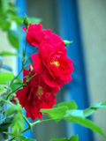 Red hedge rose (latin: Pink corymbifera). Close-up of a red hedge rose with blue window in the background Royalty Free Stock Photo