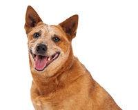 Red Heeler Closeup Happy Royalty Free Stock Photos