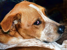 Red Heeler Dog. Royalty Free Stock Photo