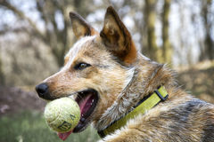 Red Heeler with her tennis ball Stock Image