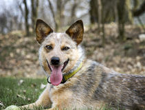 Red Heeler with her tennis ball Stock Photography