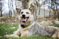Red Heeler with her tennis ball Royalty Free Stock Images