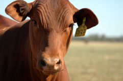Red Heifer. Inqisitive red sentipol heifer portrait stock image