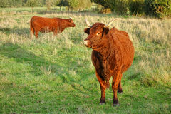 Red Heifer Bulls Grazing on a Pasture Farm Field Royalty Free Stock Image