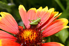 Red Helenium flower close-up with a grasshopper sitting on it Royalty Free Stock Photography