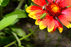 Red Helenium flower close-up with a grasshopper sitting on it Royalty Free Stock Photo