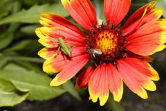 Red Helenium flower close-up with a grasshopper sitting on it Stock Photos