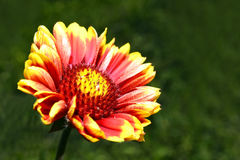 Red Helenium flower close-up on green grass background Stock Photo