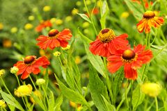 Red helenium flowers. In the garden Royalty Free Stock Images