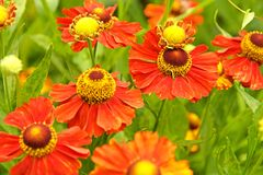 Red helenium flowers Stock Images