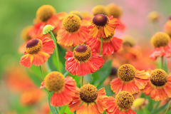 Red Helenium flowers Stock Image