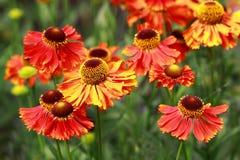 Red Helenium flowers Stock Photos