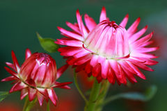 Red Helichrysum Monstrosum flowers Stock Photo