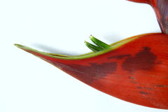 Red Heliconia. The close-up of red heliconia flower Stock Photos