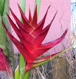 red heliconia Stock Photos