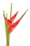 Red heliconia flower Stock Photos
