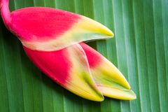 Red Heliconia flower. Hanging lobster claw or false bird of paradise Stock Images