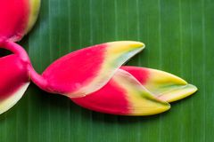 Red Heliconia flower. Hanging lobster claw or false bird of paradise Royalty Free Stock Photography
