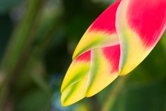 Red Heliconia flower. Hanging lobster claw or false bird of paradise Royalty Free Stock Image