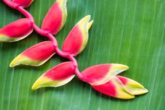 Red Heliconia flower. Hanging lobster claw or false bird of paradise Stock Photography
