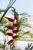 Red heliconia flowers. Are blooming on a natural background Royalty Free Stock Images