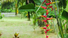 Red Heliconia flowers and tropical lush green plants during wet rainy season. Rain drops are falling on leaves and on stock video