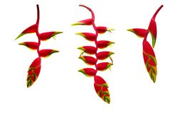 Red Heliconia rostrata hanging lobster claw or false bird of paparadise tropical flower plant set isolated on white background, Royalty Free Stock Image