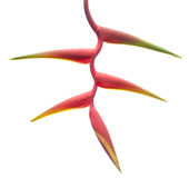 Red Heliconia. On white background Royalty Free Stock Photography
