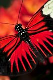 Red heliconius dora butterfly Royalty Free Stock Photography