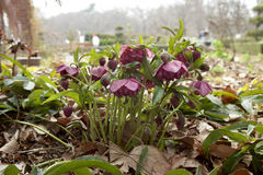 Red hellebore Stock Images