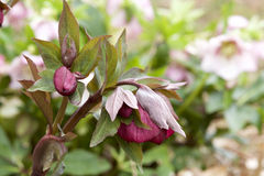 Red hellebore Stock Photography