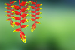 Red heloconia flower. On  green background Royalty Free Stock Image