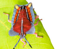 Red hemiptera  in green nature Stock Photography