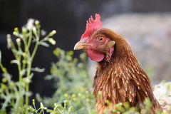 Red hen Royalty Free Stock Images
