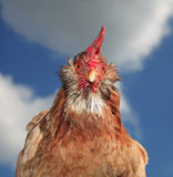 The red hen Stock Photography