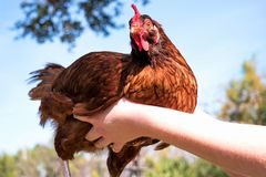 Red Hen Stock Photography