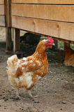 Red hen on farm. Homemade poultry. Rustic look. Royalty Free Stock Images