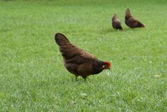 Red hen on the grass Royalty Free Stock Photos