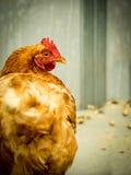 Red Hen Stock Photos