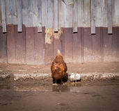 Red hen and two chickens. A hen with little chickens drinking water from puddles in the village Royalty Free Stock Photos