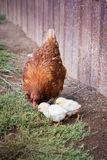 Red hen and two chickens. Red hen teaches two of his chickens to look for food in the ground in the village Stock Photos