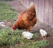 Red hen and two chickens. Red hen teaches two of his chickens to look for food in the ground in the village Stock Photography