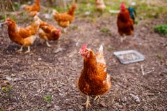 Red hen walking in the backyard and eating grains and grass stock images