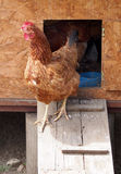 Red hen at wooden chicken coop Royalty Free Stock Image