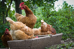Red hens on the feeder. Royalty Free Stock Image