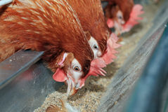 Red hens in trough Stock Photography