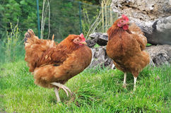 Red hens Royalty Free Stock Image