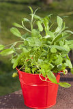 Red herb pot with oregano Royalty Free Stock Image